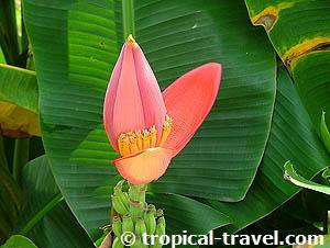 Karibik Reiseführer - karibische, tropische Pflanzen und Blumen