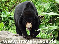 Asiatischer Schwarzbär © tropical-travel.com