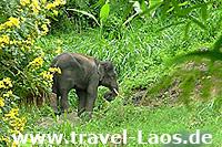 Asiatischer Elefant © tropical-travel.com