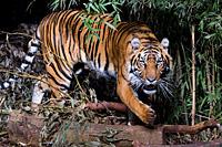 Myanmar Tiger
