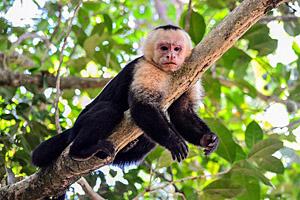 Kapuziner Affe, Costa Rica © Oliver Nowak | 123RF.com