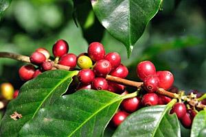 Kaffee aus Costa Rica © Sirichai Manmok | 123RF.com