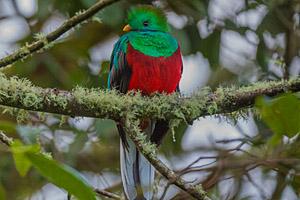 Quetzal, Costa Rica © Karim Ouhaik | 123RF.com