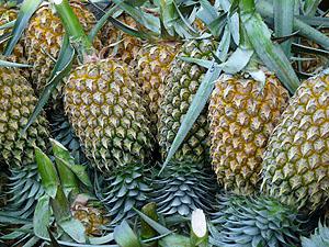 Costa Rica Ananas© © tropical-travel.com