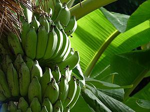 Costa Rica Bananen © tropical-travel.com