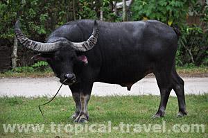 Samui Büffel © tropical-travel.de