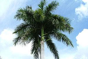 Kubanische Königspalme © tropical-travel.de