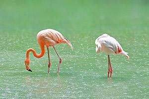 rosa Flamingos © Ivan Kmit - Dreamstime.com