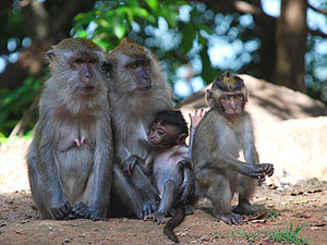 Affen auf Langkawi © Mohamed Farhadi | Dreamstime.com