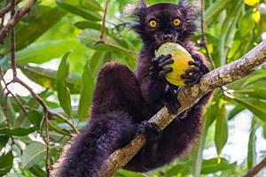schwarzer Lemur Madagaskar © byvalet | 123RF.com