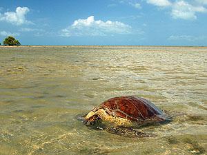 Meeresschildkröte nach der Eiablage, Sri Lanka © Augusto Miranda Martins | Dreamstime.com