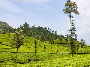 Sri Lanka tea plantation © Markusphoto | Dreamstime.com